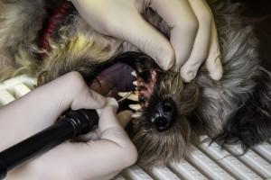 Zahnreinigung mit Ultraschall beim Hund